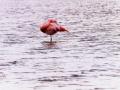 Flamingo's in de Groenzoom. Flamingo's in de Groenzoom trekken veel bekijks. De Chileense flamingo wordt in Nederland vaak in gezelschap gezien van de Europese flamingo, en soms ook met de kleine flamingo, de rode flamingo en de Caribische flamingo. Van alle genoemde soorten is de Europese flamingo de enige die inheems is in Nederland. (januari 2020)