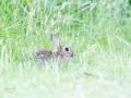 Haas verstopt in het hoge gras. (High Key fotografie) (juni 2020)