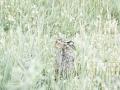 Haas verstopt in het hoge gras en klaver bloemen. (High Key fotografie) (juni 2020)