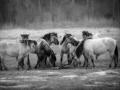 Konik paarden bij gevoelstemperatuur -12 graden Celsius in het natuurgebied Lente Vreugd. De foto is in zwart /wit om het krachtiger over te laten komen en de kou te benadrukken (maart 2018)
