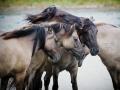 Konik paarden in Natuurgebied Lente Vreugd. (augustus 2018)
