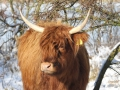 Schotse Hooglander in de sneeuw. (februari 2021)
