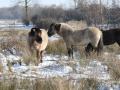 Konik paarden in de sneeuw. (februari 2021)