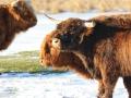 Schotse Hooglanders op het bevroren meer. (februari 2021)