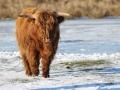 Schotse Hooglander op het bevroren meer. (februari 2021)