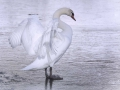 Wit met wit. Bevroren zwanenmeer. (februari 2021)