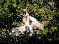 Lepelaars bevinden zich van februari tot september/oktober in Nederland. Via Franse en Spaanse moerassen trekken ze naar winterkwartieren langs de West-Afrikaanse kust (vooral Banc d'Arguin). Lepelaars broeden in moerassige gebieden, dichte rietkragen of moeilijk bereikbare bomen en struiken, maar ook op kwelders. Jonge lepelaars zijn te herkennen aan hun roze snavel. De volwassen lepelaars hebben een donkere snavel met een lichte vlek op het eind. (mei 2020)