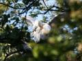 Lepelaars bevinden zich van februari tot september/oktober in Nederland. Via Franse en Spaanse moerassen trekken ze naar winterkwartieren langs de West-Afrikaanse kust (vooral Banc d'Arguin). Lepelaars broeden in moerassige gebieden, dichte rietkragen of moeilijk bereikbare bomen en struiken, maar ook op kwelders. Jonge lepelaars zijn te herkennen aan hun roze snavel. De volwassen lepelaars hebben een donkere snavel met een lichte vlek op het eind. Jonge lepelaars op nest die hun veren aan het poetsen zijn en vleugels aan het uitproberen. (mei 2020)
