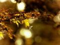 Clingendael, Japanse esdoorn met kleine libelle. (november 2019)