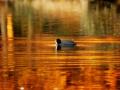 Landgoed Oosterbeek. Meerkoet in de spiegeling van de herfstkleuren in het water bij de ondergaande zon. (november 2019)