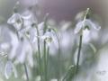 Sneeuwklokjes op Landgoed Oosterbeek. Met tegen licht gefotografeerd en High Key. (februari 2020)