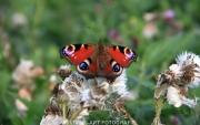 Vlinder dagpauwoog. (Zomer 2014)