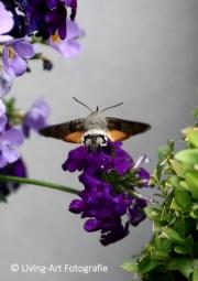 De kolibrievlinder, een vlinder die heel sterk op de gelijknamige vogel lijkt is bijzonder zeldzaam. Van vleugel tot vleugel is hij 5 centimeter lang, echt groot, maar aan de antennes zie je dat het een insect is en geen vogel. Hun ogen zijn zeer scherp, zij volgen de bewegingen van de bloem in de wind zeer nauwkeurig om met hun lange tong heel doelgericht in de opening te kunnen komen waar de nectar in verborgen zit. Zijn vleugels slaan 70 tot 90 keer per seconde. Zij kunnen een snelheid halen van 80 kilometer per uur. (juni 2015)