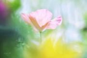 Klaproos tussen wilde bloemen in het veld met tegenlicht.. (juli 2019)