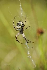 De naam tijgerspin of wespspin heeft alles te maken met het uiterlijk; de spin kan niet steken en de beet is ongevaarlijk voor mensen. De naam is vooral te danken aan het relatief zeer grote vrouwtje. Ze heeft een zwart achterlijf met heldere gele, witte en diepzwarte grillige banden, vooral vlak voor het afzetten van de eitjes is het achterlijf sterk opgezwollen. De wespspin richt zich vooral op springende en laagvliegende prooien zoals sprinkhanen, libellen en kevers, die tussen de grassen leven. De wespspin hangt altijd ondersteboven in het wielweb, dat te herkennen is aan de twee extra zigzag matjes die straalsgewijs vanuit het centrum zijn aangebracht. Deze worden het stabilement genoemd. De exacte functie hiervan is niet precies bekend; zo zouden de witte banden insecten aantrekken door uv-licht te weerkaatsen, ook is geopperd dat door het stabilement het web zichtbaarder is voor grotere landdieren, die er minder snel doorheen lopen en het web vernielen. (augustus 2017)