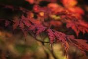 Rode Acer in de schaduw van de Japanse tuin in Clingendael. (oktober 2017)