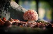 De vliegenzwam vind je vooral in de buurt van berken, beuken en eiken. Dat is niet voor niets. De schimmeldraden onder de grond hebben een intieme verhouding met de wortels van deze bomen, ze groeien om de haarvaten van de wortels heen. Boom en zwam kunnen niet zonder elkaar! Een mooi voorbeeld van symbiose. Vliegenzwammen kennen verschillende stadia. Ze beginnen als een soort ei, waar de paddenstoel uit groeit. Eerst is de zwam nog bolvormig, later strekt de hoed zich uit en wordt platter. Hoe ouder de zwam, hoe doffer of bleker de hoed en ook komen er vaak scheuren in. Ook de regen doet de paddenstoel geen goed, de kleur verbleekt en de witte stippen spoelen weg. Meerdere stadia in één beeld brengen is een kunst op zich, maar wel aansprekend.  Let eens op de jonkies: het zijn grappige bolletjes waar het rood nog maar net door het barstende witte omhulsel komt. (oktober 2018)