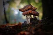 Vergane Glorie! De vliegenzwam vind je vooral in de buurt van berken, beuken en eiken. Dat is niet voor niets. De schimmeldraden onder de grond hebben een intieme verhouding met de wortels van deze bomen, ze groeien om de haarvaten van de wortels heen. Boom en zwam kunnen niet zonder elkaar! Een mooi voorbeeld van symbiose. Vliegenzwammen kennen verschillende stadia. Ze beginnen als een soort ei, waar de paddenstoel uit groeit. Eerst is de zwam nog bolvormig, later strekt de hoed zich uit en wordt platter. Hoe ouder de zwam, hoe doffer of bleker de hoed en ook komen er vaak scheuren in. Ook de regen doet de paddenstoel geen goed, de kleur verbleekt en de witte stippen spoelen weg. Meerdere stadia in één beeld brengen is een kunst op zich, maar wel aansprekend.  Let eens op de jonkies: het zijn grappige bolletjes waar het rood nog maar net door het barstende witte omhulsel komt. (oktober 2018)