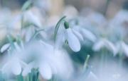 Sneeuwklokjes wazig door groep heen gefotografeerd. Spelen met licht en (on)scherpte geeft een creatief en sfeervol resultaat. (Een serie van het fotograferen van sneeuwklokjes op een andere manier.) (februari 2019)