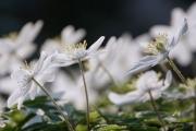 Aan het eind van de winter of vroeg in het voorjaar zijn in onze rijkere bossen en in de bossen van landgoederen vaak hele bodemoppervlakken bedekt met de Bosanemoon, Anemone nemorosa. De witte bloemen staan zo dicht bij elkaar dat je zou kunnen denken dat er nog plakken sneeuw in het bos liggen. De bloemen staan allemaal apart op een steel met drie bladeren. En het lijkt of ze zich allemaal op de zon richten om zoveel mogelijk voorjaarswarmte te ontvangen. (maart 2019)