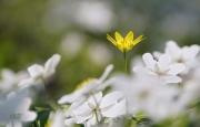 Speenkruid groeiend door de bosanemoontjes heen. Het speenkruid met z'n grasgroene, glimmende hartvormige blaadjes en z'n stervormige, kanariegele bloemen is het een attractief plantje. (maart 2019)