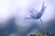 Bosanemoon met tegenlicht creatief. Aan het eind van de winter of vroeg in het voorjaar zijn in onze rijkere bossen en in de bossen van landgoederen vaak hele bodemoppervlakken bedekt met de Bosanemoon, Anemone nemorosa. De witte bloemen staan zo dicht bij elkaar dat je zou kunnen denken dat er nog plakken sneeuw in het bos liggen. De bloemen staan allemaal apart op een steel met drie bladeren. En het lijkt of ze zich allemaal op de zon richten om zoveel mogelijk voorjaarswarmte te ontvangen. (maart 2019)