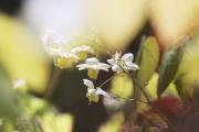 Elfenbloem. De bloemetjes van Epimedium x perralchicum 'Frohnleiten', ook wel elfenbloem genoemt, verschijnen in de periode april-mei. Het blad is wintergroen. Ook na de bloei is deze elfenbloem, vanwege het mooie blad, nog decoratief. Door de bladeren heen gefotografeerd. (april 2019))