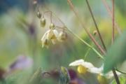 Elfenbloem. De bloemetjes van Epimedium x perralchicum 'Frohnleiten', ook wel elfenbloem genoemt, verschijnen in de periode april-mei. Het blad is wintergroen. Ook na de bloei is deze elfenbloem, vanwege het mooie blad, nog decoratief. Door de bladeren heen gefotografeerd. (april 2019)