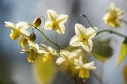 Elfenbloem. De bloemetjes van Epimedium x perralchicum 'Frohnleiten', ook wel elfenbloem genoemt, verschijnen in de periode april-mei. Het blad is wintergroen. Ook na de bloei is deze elfenbloem, vanwege het mooie blad, nog decoratief. Tegenlicht opname. (april 2019)