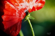 Sprinkhaan op de onderkant van een klaproos. De naam klaproos komt van het klappend geluid dat de bloemblaadjes maken wanneer je ze (omgevouwen) tussen de handen legt en er op slaat. Klaproos of papaver is een geslacht van bloeiende planten. Een bekende soort is de slaapbol (Papaver somniferum), waaruit maanzaad en opium gewonnen wordt. (mei 2019)