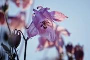 Wilde Akelei met tegenlicht door de vegetatie heen gefotografeerd. Wilde Akelei (Aquilegia) is een geslacht van kruidachtige. (mei 2019)
