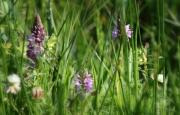 Natuurgebied Lente Vreugd. Gevlekte orchis. (juni 2018)
