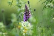 De rietorchis is een Europese orchidee. Ze zijn mooi, vaak zeldzaam en spreken tot de verbeelding. Maar weinig bloemen zijn zo populair onder natuurfotografen en andere natuurliefhebbers als orchideeën. Het vinden en fotograferen van de bloemen is echter niet vanzelfsprekend. Sommige soorten zijn algemeen in Nederland, maar de meeste zijn veel zeldzamer en alleen te vinden in natuurgebieden. Hier gefotografeerd met telelens voor veel onscherpte in voor- en achtergrond. (juni 2019)