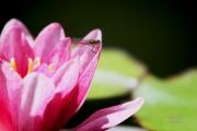 Kleine rode heidelibel op roze waterlelie. De bloedrode heidelibel dankt zijn naam aan de dieprode kleur van de mannetjes, de vrouwtjes zijn geel gekleurd. (juli 2019)