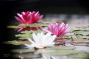 Nymphaea, de witte e/o roze waterlelie is een overblijvende plant, die stevig geworteld zit in de bodem van de meren en plassen waarin hij groeit. Hij heeft een dikke vlezige kruipende stengel en veel zijwortels. De ronde leerachtige bladen en witte bloemen groeien op lange stelen, die direct uit de kruipende stengel groeien en kun lengte aanpassen aan de diepte van het water. De bloemen zijn opvallend, tot 10 cm in doorsnede en bestaan uit veel groen-witte kroonbladen die naar het midden toe vervangen worden door geel-witte kroonbladachtige meeldraden. Na de bloei zakt de sponsachtige vrucht naar de bodem van het water doordat de steel zich oprolt. Daar splijt hij open om de zaden vrij te laten, die naar de oppervlakte drijven en zich zo verspreiden. De bloeitijd is vanaf half mei tot en met augustus. (juli 2019)