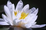 Nymphaea, de witte waterlelie is een overblijvende plant, die stevig geworteld zit in de bodem van de meren en plassen waarin hij groeit. Hij heeft een dikke vlezige kruipende stengel en veel zij wortels. De ronde leerachtige bladen en witte bloemen groeien op lange stelen, die direct uit de kruipende stengel groeien en kunnen de lengte aanpassen aan de diepte van het water. De bloemen zijn opvallend, tot 10 cm in doorsnede en bestaan uit veel groen-witte kroonbladen die naar het midden toe vervangen worden door gele kroonbladachtige meeldraden. Na de bloei zakt de sponsachtige vrucht naar de bodem van het water doordat de steel zich oprolt. Daar splijt hij open om de zaden vrij te laten, die naar de oppervlakte drijven en zich zo verspreiden. De bloeitijd is vanaf half mei tot en met augustus. (juli 2019)