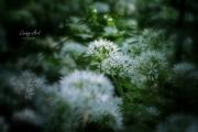Bloeiende Daslook, sfeerbepaler in het bos is daslook. Niet alleen door de eerst groene tapijten, die later omvormen tot witte tapijten, maar vooral door de geur. De naam 'look' heeft hij niet voor niets. (maart 2017)