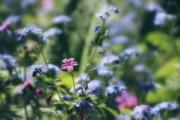 Koekoeksbloem tussen de vergeet-mij-nietjes. Koekoeksbloem is de Nederlandstalige naam voor een geslacht van kruidachtige planten uit de anjerfamilie. De botanische naam van het geslacht is Lychnis. De naam Lychnis is afkomstig van het Griekse woord 'lychnos' dat lamp betekent. Volgens een verklaring slaat de naam op de heldere kleur van de bloemen, volgens een andere verklaring slaat de naam op het gebruik van de wollige bladeren als lampenpitten. (april 2017)