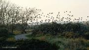 De magie van een spreeuwenzwerm. Vogels in een zwerm draaien individueel, waardoor de vorm van de zwerm verandert. (november 2015)