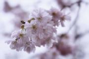 Roze Prunus. (april 2020)