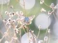 Icarusblauwtje in de duinen van Solleveld. (High Key) (augustus 2020)