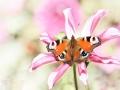 Dagpauwoog vlinder op een dahlia bij kasteel Keukenhof. (High Key) (september 2020)