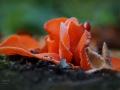 Oranje bekerzwam is zeldzaam. Op het eerste gezicht denk je aan weggeworpen sinaasappelschillen langs het pad. Het blijkt bij nader inzien een zwam te zijn: het is de grote oranje bekerzwam. Zo langs een pad groeien is best gewoon voor deze soort, hij houdt van een beetje verstoorde open plekken op zandgrond. Zelden groeien ze alleen, vaak zie je er meer in de buurt als je even zoekt. De kleur is onmiskenbaar! (oktober 2018)