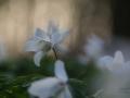 Bosanemoon met ondergaande zon door de stuiken heen schijnend. Bosanemoontjes door de vegetatie heen gefotografeerd. Bosanemoon met tegen licht. Aan het eind van de winter of vroeg in het voorjaar zijn in onze rijkere bossen en in de bossen van landgoederen vaak hele bodemoppervlakken bedekt met de Bosanemoon, Anemone nemorosa. De witte bloemen staan zo dicht bij elkaar dat je zou kunnen denken dat er nog plakken sneeuw in het bos liggen. De bloemen staan allemaal apart op een steel met drie bladeren. En het lijkt of ze zich allemaal op de zon richten om zoveel mogelijk voorjaarswarmte te ontvangen. (maart 2019)