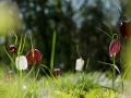 Kievitsbloem. Eind april bloeit de misschien wel mooiste bloem die Nederland rijk is. De kievitsbloem, vroeger ook wel Hollandse tulp genoemd en familie van de lelie's, is een prachtige, zeer zeldzame rode lijst soort. Apart aan de bloem is de geblokte structuur en de regelmatige zeshoek van de bloemvorm, de enige bloem met deze wiskundige vorm! Het gros is paars, op een paar witte albino's na. (april 2019)