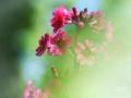 Etage primula in de Japansetuin in Clingendael door de vegetatie heen gefotografeerd.  (mei 2019)