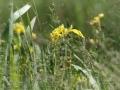 Natuurgebied Lente Vreugd. Gele lis. (juni 2018)