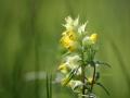 Natuurgebied Lente Vreugd. Grote ratelaar. Zaden maken een rammelend geluid in de verdroogde kelkbladen, waaraan de plant haar naam ontleent. (juni 2018)