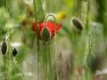 De klaproos in beeld. De klaproos is een van de populairste planten om te fotograferen. In deze fotoreeks krijg je een mooie indruk van de levensloop. De naam klaproos komt van het klappend geluid dat de bloemblaadjes maken wanneer je ze (omgevouwen) tussen de handen legt en er op slaat. Een klaproos is een tere bloem die je niet kunt plukken, in een vaas gaat hij onvermijdelijk dood. Toch is een klaproos een verbazend sterke plant. Een klaproos ziet er teer en kwetsbaar uit, maar...  Hij gaat mee met de elementen, hangt slap na elke regenbui en beweegt mee met elke windvlaag.  Als hij goed geworteld is, komt hij altijd weer overeind, wát hij ook doorstaan heeft.  Een klaproos is práchtig, zowel in knop als in volle bloei. Je komt hem tegen op de meest onverwachte plaatsen en momenten.  Na de bloei worden de zaadjes veelvuldig uitgespreid. Andere klaprozen kunnen hierdoor tot bloei en groei komen.  Klaprozenzaad kan niet ontkiemen op een stilstaande bodem. Klaprozen hebben een bodem nodig die in beweging is. De aard van de beweging is hierbij van geen belang. Zolang de bodem rust, gebeurt er niets. Zodra de bodem beroerd wordt, ontkiemen zaadjes die hier jaren op lagen te wachten! (juni 2019)