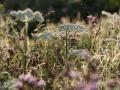 Wilde bloemen in de zomer. (juli 2020)